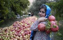 برداشت ۶۰۰ تُن یاقوت سرخ در منطقه انبوه شهرستان رودبار