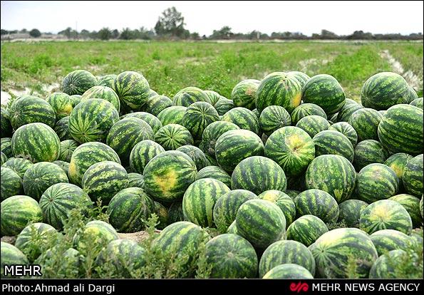 تولید بیش از 58هزارتن محصول جالیزی در 2000هکتار اراضی کشاورزی استان بوشهر