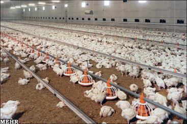 از ورود مرغ از سایر استانها به بوشهر جلوگیری شود