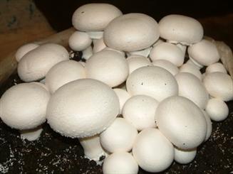 ۳۲ کارگاه صنعتی تولید قارچ در چهارمحال و بختیاری فعال است