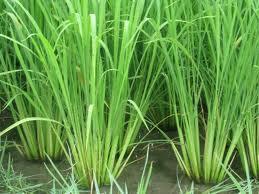 زمین مورد نیاز احداث شهرک صنفی برنج کشور خریداری شد