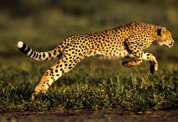 سریعترین حیوان روی زمین در دام گرسنگی/ خطر جان یوز ریگان را تهدید می کند