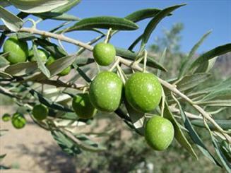 نهبندان رتبه نخست تولید زیتون خراسان جنوبی را دارد/ برداشت 70 تن زیتون در نهبندان