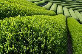 واردات چای و رونق ویلاسازی در جنگلهای شمال!
