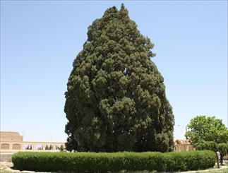 """نابودی تدریجی درخت 4000 ساله / تیشه به ریشه """"سرو ابرکوه"""" می زنند"""
