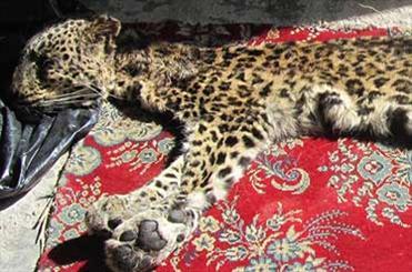 شکار پلنگ ایرانی در جنگلهای مازندران