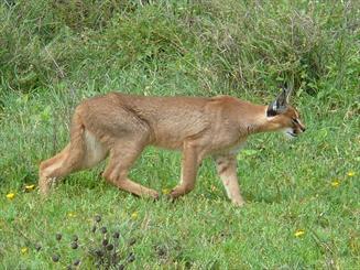 زیبای وحشی در دام روستائیان/ سکوت مسئولان به مرگ حیوان در معرض انقراض منجر شد