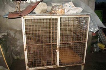 اسارت خرس قهوه ای در قفس یک متری/ تغذیه با نان بربری خشک