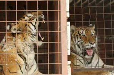 باغ وحش ارم ایستگاه پایانی بزرگترین گربه جهان/ انقراض ببرها در ارم