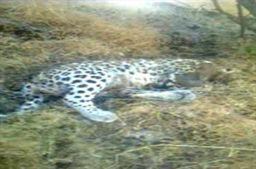 شکار سومین پلنک در 5 ماه / یک قلاده پلنگ ایرانی در هشتاد پهلوی لرستان با شلیک گلوله کشته شد