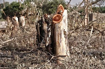 قطع درختان در شوش و دزفول