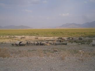 """""""گندمان"""" میزبان گوسفندان به جای پرندگان/ تالابی که چراگاه شد"""