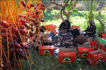 خرمای سال گذشته نخلداران بوشهر هنوز فروش نرفته است/ خرما باید وارد سبد غذایی شود