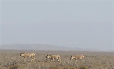 خشکسالی حیات وحش خارتوران را به خطر انداخت/ مسئولان به فکر جانوران در معرض انقراض باشند