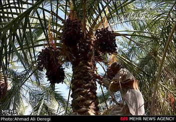 برداشت 167 هزار تن خرما از 34 هزار هکتار نخیلات استان بوشهر