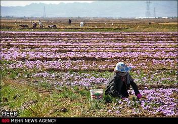 تغییر الگوی کشت در اراضی حاشیه دریاچه ارومیه/ کشت زعفران بجای محصولات پرآب