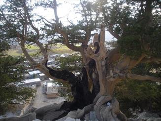 """گذری در روستای """"بان سرو"""" ایلام/ وجود 18 درخت سرو 3300 ساله"""