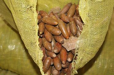 قاچاق بذر بلوط به کشورهای حاشیه خلیج فارس/ تهدید تازه برای بلوط ها و سنجابهای زاگرس