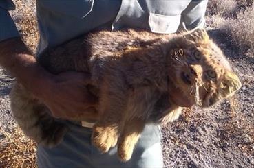 سودجویان در کمین مرموزترین زیبای طبیعت/ گربه پالاس پس از مدتها در چنگال شکارچیان پیدا شد