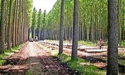 کشت صنوبر در 21 هزار هکتاراز اراضی آذربایجان غربی/نهال اصلاح شده توزیع می شود