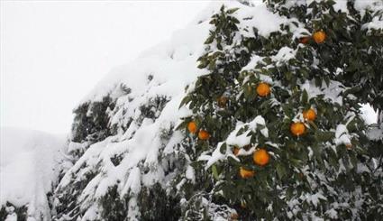 دو هزار هکتار باغات نوشهر در بحران برف آسیب دیدند