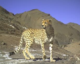 مشاهده یوزپلنگ ایرانی پس از 40 سال در پارک ملی گلستان