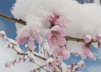 قطب بادام کشور را سرما زد/ شکوفه باز شده درختان بادام در دمای زیر صفر از بین رفتند