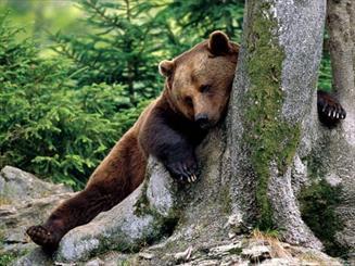 تخریب زیستگاه خرسها را به باغات کشاند/حکایت نجات یک تولهخرس