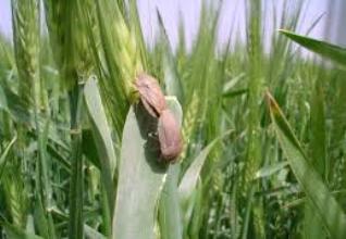 مشاهده آفت سن گندم و جو در اراضی کشاورزی 220 روستاي دلفان