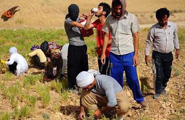 نخودکاران کرمانشاهی در انتظار صادرات/ کشاورزانی که دیگر رغبتی به کشت ندارند
