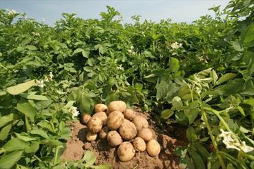 محصول کشاورزی کرمان