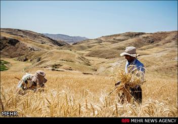 """حصاد القمح من مزاع محافظة """"مركزي"""""""