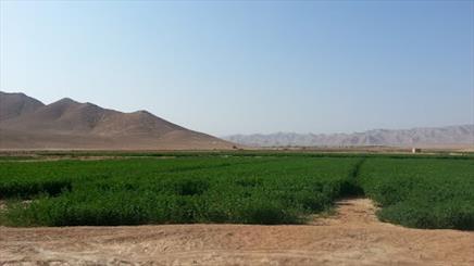 مراتعی که با بازگشت یونجه جان می گیرند/ کاشت یونجه سازگار با آب و هوای استان مرکزی