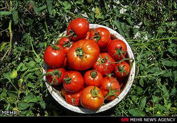 گوجهفرنگی جنوب به بازار آمد/ قیمت گوجه به 1500 تومان رسید