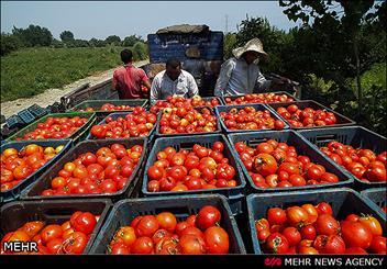 برداشت ۹۰ هزارتن گوجه فرنگی از مزارع هشت بندی/ هشدار در خصوص آفت مینوز