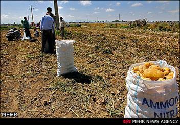 افزایش 10 درصدی سطح زیر کشت سیب زمینی/ قیمت برای مصرف کننده 1500 تومان