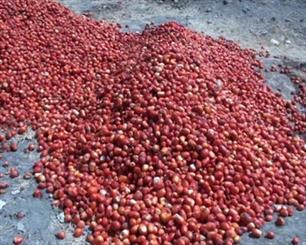 گوجهفرنگی اسدآباد در پس نبود صنایع تبدیلی جان می دهد/30 درصد تولیدات دورریز می شود