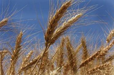 واردات گندم امسال باید کمتر از 4 میلیون تن باشد