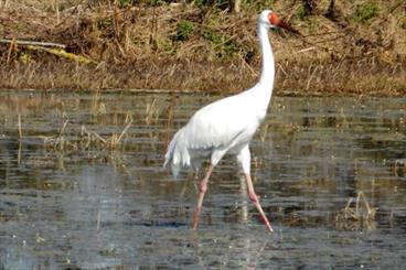 Last Siberian crane returns to Iran