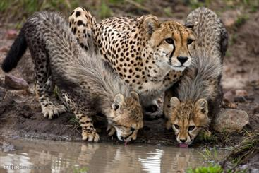 Camera traps capture 4 new Asiatic Cheetahs in Iran