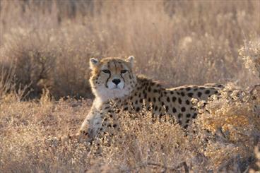 Female Asiatic Cheetah, cub sighted in Miandasht