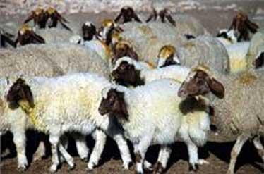 کشف ۵۶ راس دام قاچاق در یزد