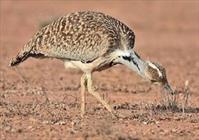 چیرک در خطر جدی انقراض/ تنها ۳۰ قطعه میش مرغ باقی مانده است