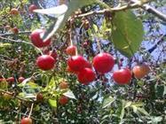 31 گونه باغی در لرستان وجود دارد/ تولید سالانه 220 هزار تن