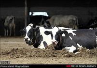 چالش گرانی نهاده و کاهش قیمت گوشت قرمز/ علوفه دام قاچاق میشود