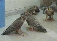 محکومیت ۴ تبعه خارجی قاچاق پرندگان شکاری اعلام شد