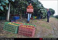 سالانه 220 هزار تن محصولات باغی در لرستان تولید می شود