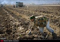 امسال ۱.۵ میلیون تن چغندرقند در آذربایجان غربی تولید می شود