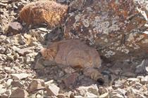 گربه پالاس توسط لنز دوربین محیطبان منطقه «پرور» مهدیشهر شکار شد