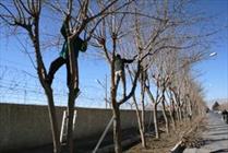 پاسخ به انتقاد هرس زودهنگام درختان